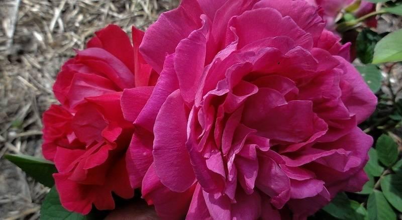 Сорт розы Parfum de l'Hay фото