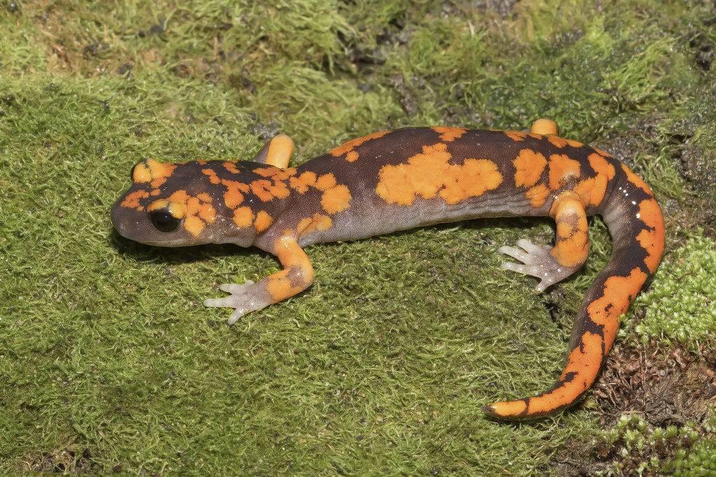 Тихоокеанская саламандра (подвид Ensatina eschscholtzii platensis) фото