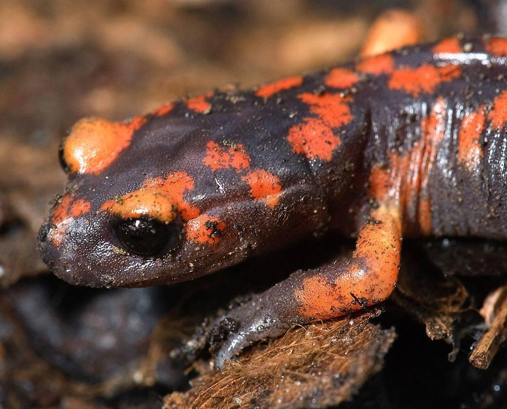 Тихоокеанская саламандра (подвид Ensatina eschscholtzii platensis)