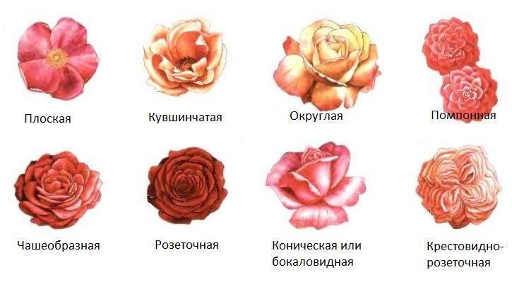 Какой формы цветок роза