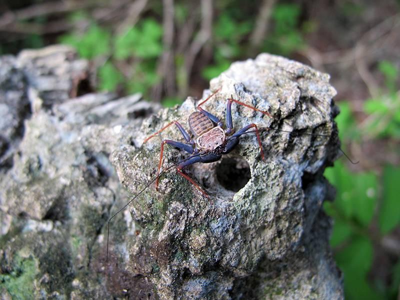 Фрин Phrynus damonidaensis