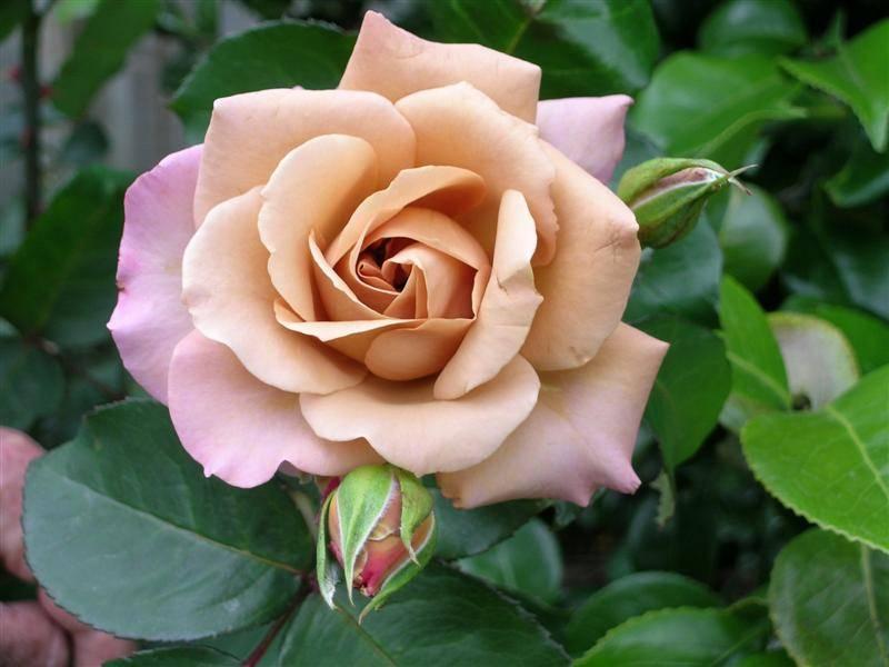 Чайно-гибридная роза Джулиас Роуз (Julia's Rose) фото