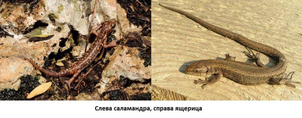 Чем отличается саламандра от ящерицы фото