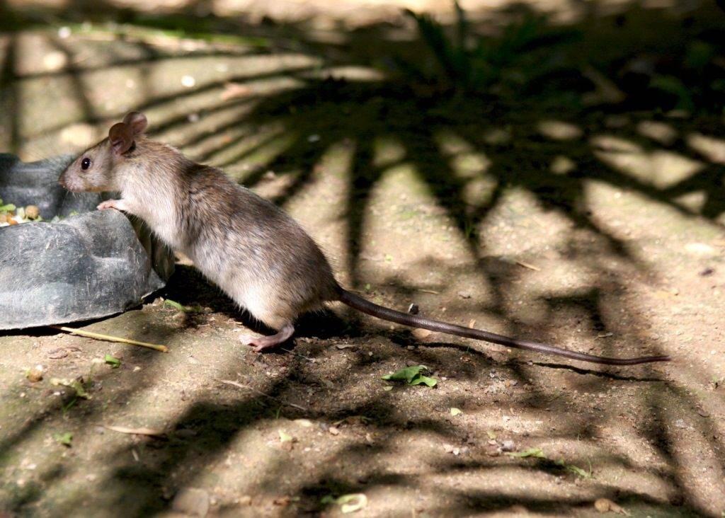 Черная крыса (лат. Rattus rattus)
