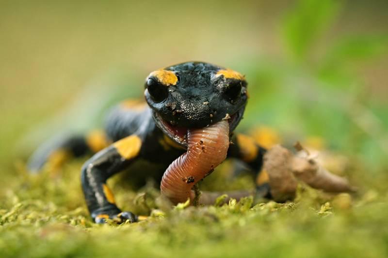 Что едят саламандры