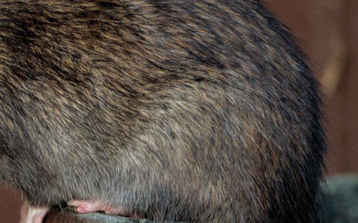 Шерсть крысы фото