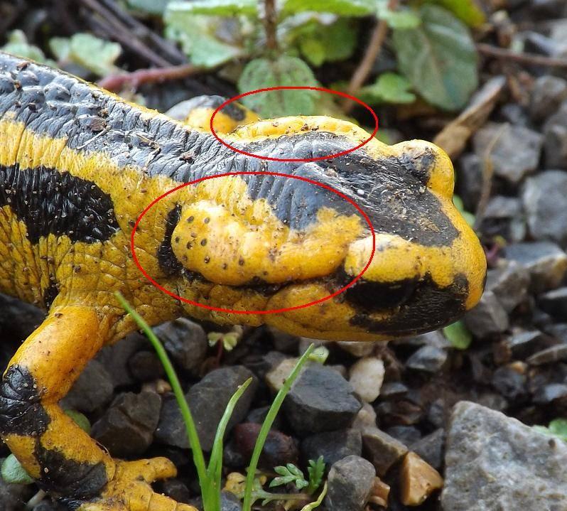 Ядовитые железы саламандры фото (выделены красным)