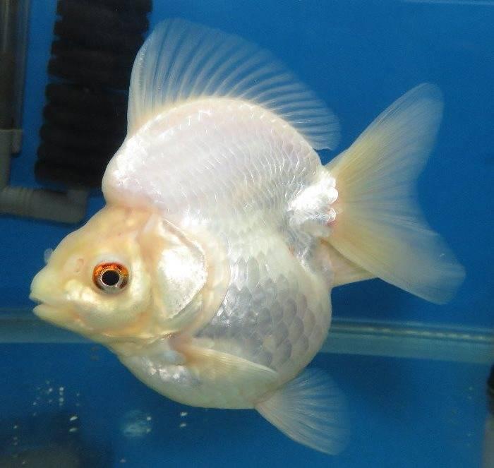 Аквариумная золотая рыбка рюкин белая фото