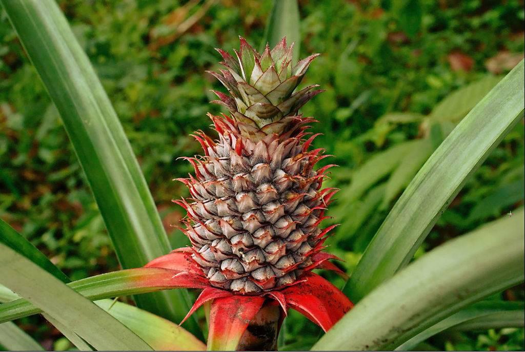Ананас крупнохохолковый фото (ананас хохлатый, ананас настоящий) (лат. Ananas comosus)