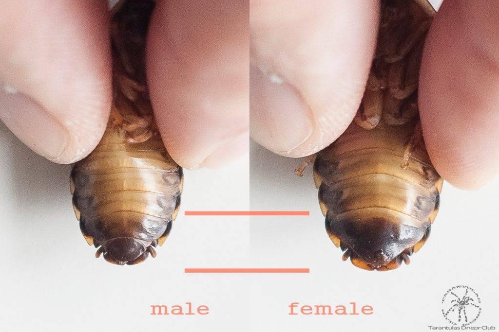 Аргентинский таракан (Blaptika dubia) - самец слева и самка справа