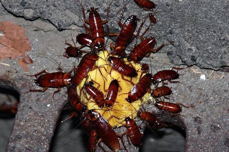 Борная кислота от тараканов фото