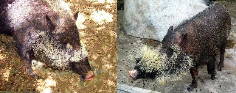 Где обитает палаванская бородатая свинья