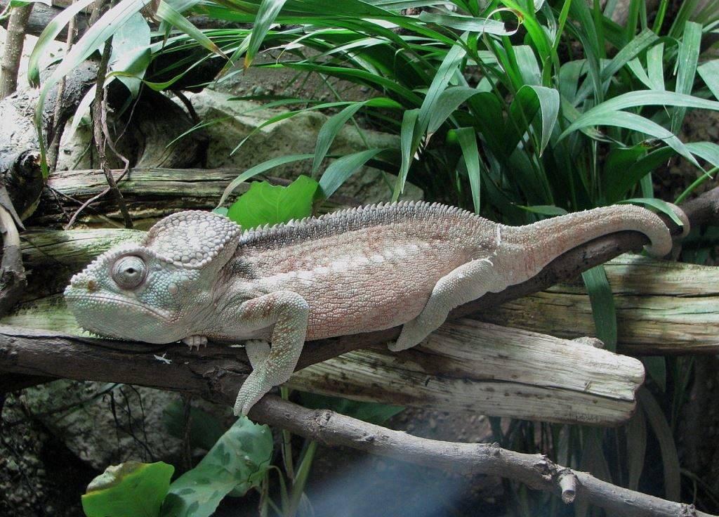 Гигантский хамелеон фото (лат. Furcifer oustaleti)