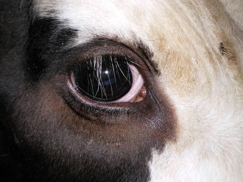 Глаза коровы фото