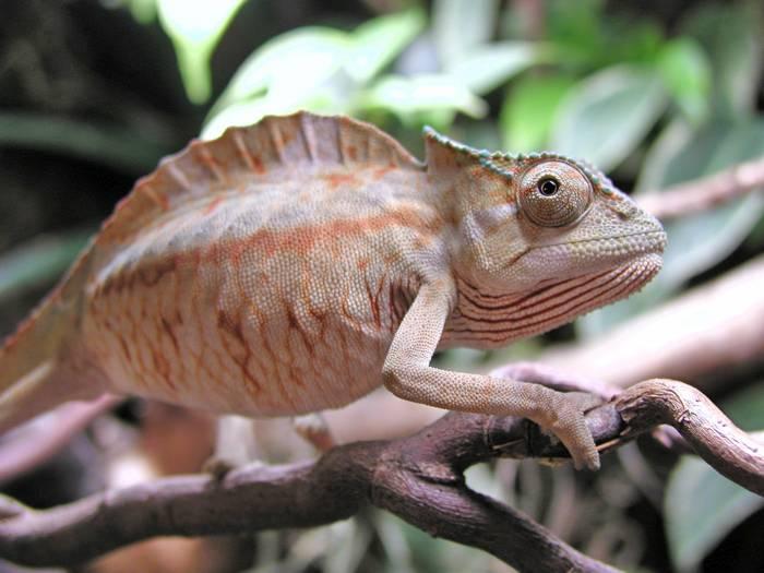 Гребешковый хамелеон фото (лат. Trioceros cristatus)