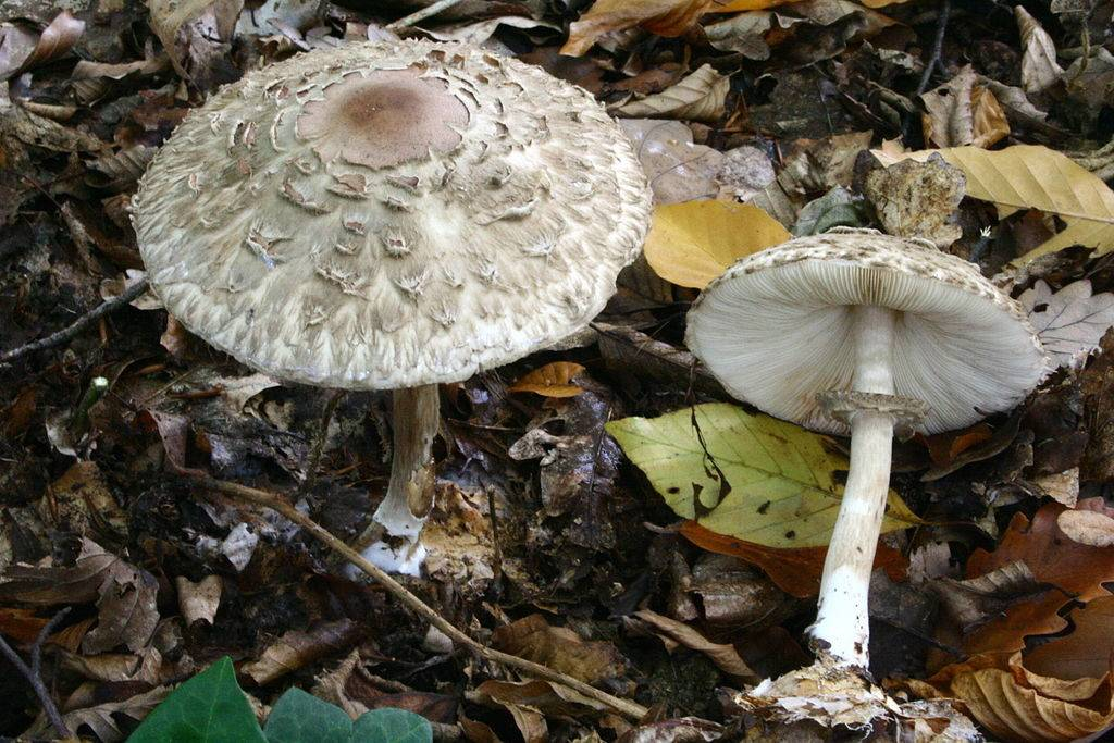 Гриб-зонтик краснеющий (лохматый) (лат. Chlorophyllum rhacodes)