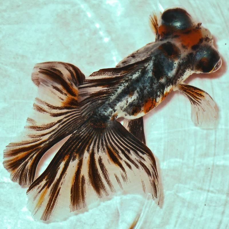 Золотая рыбка «ситцевая бабочка» фото