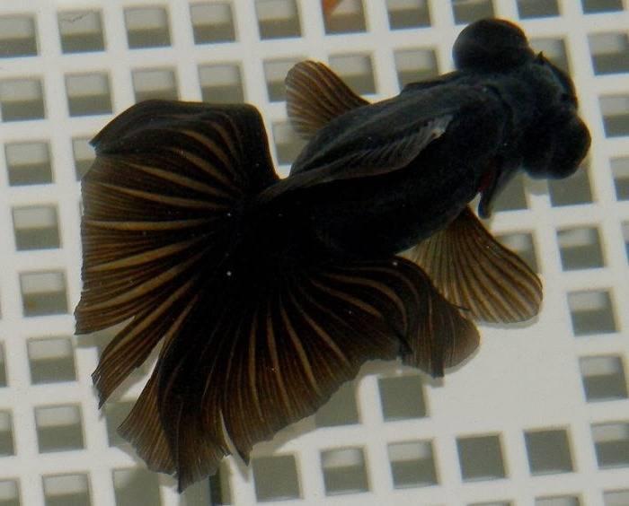 Золотая рыбка бабочка черная фото