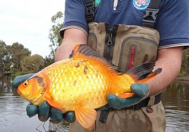 Золотая рыбка в руках фото