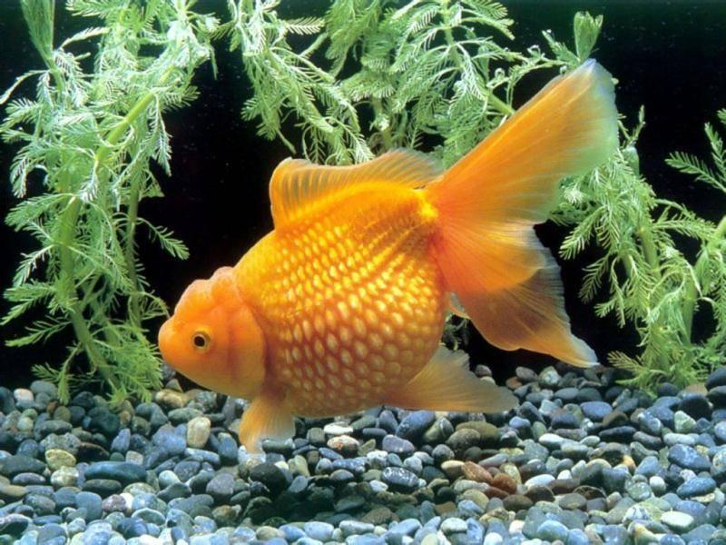 Золотая рыбка жемчужинка желтая фото