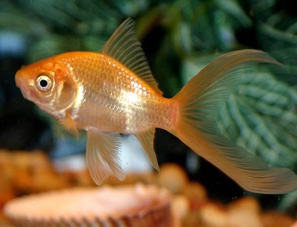 Золотая рыбка комета (анг. Comet goldfish)