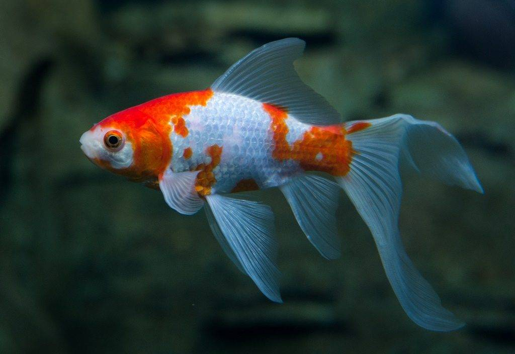 Золотая рыбка комета бело-оранжевая фото