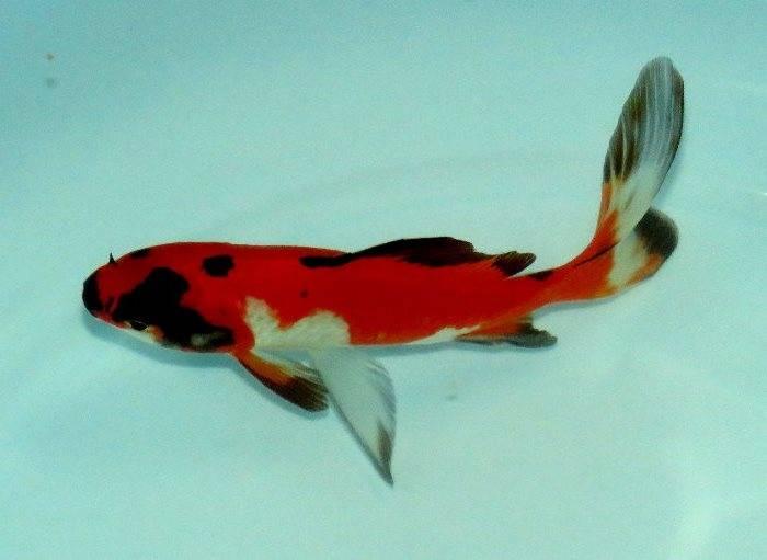 Золотая рыбка комета красно-черно-белая фото