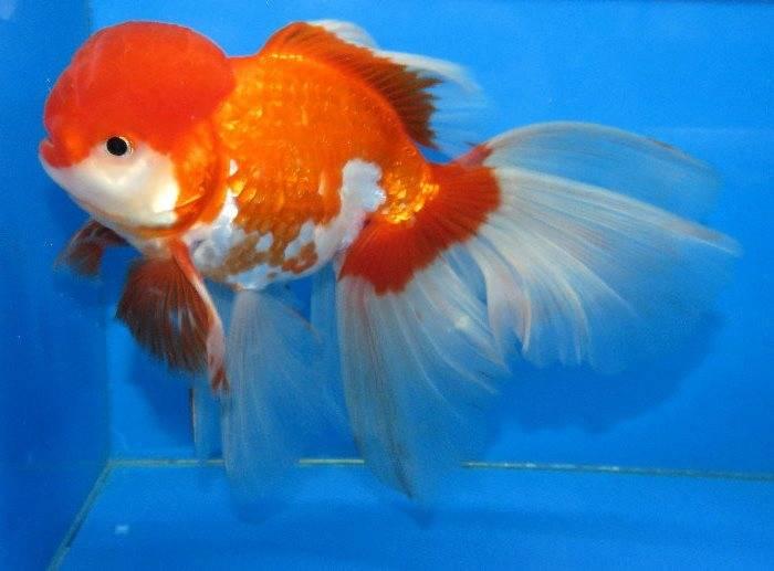 Золотая рыбка оранда (анг. Oranda goldfish)