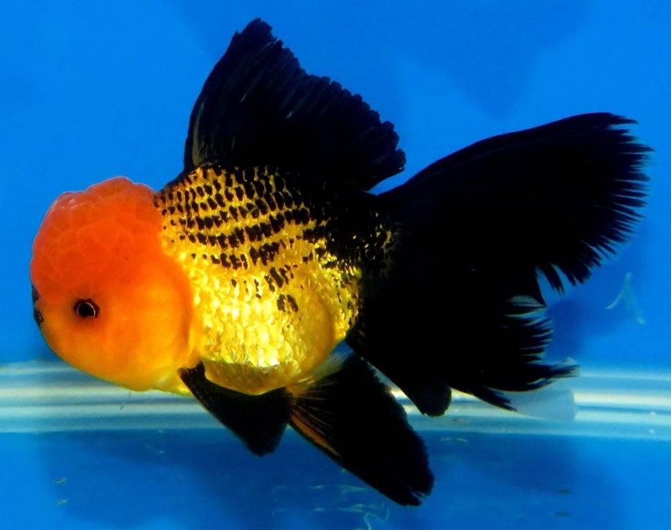Золотая рыбка оранда золотисто-черная фото