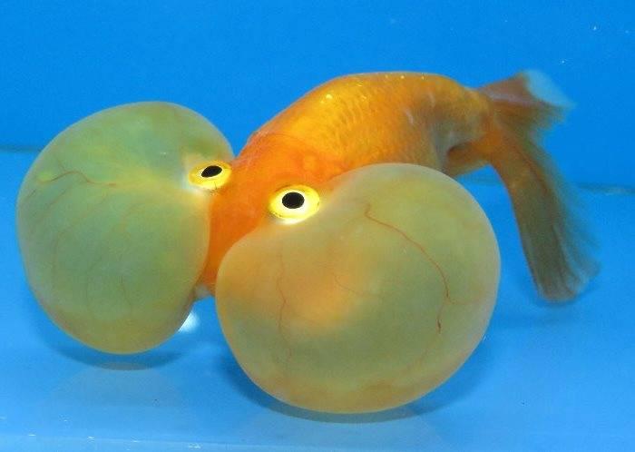 Золотая рыбка пузыреглаз (анг. Bubble eye goldfish)