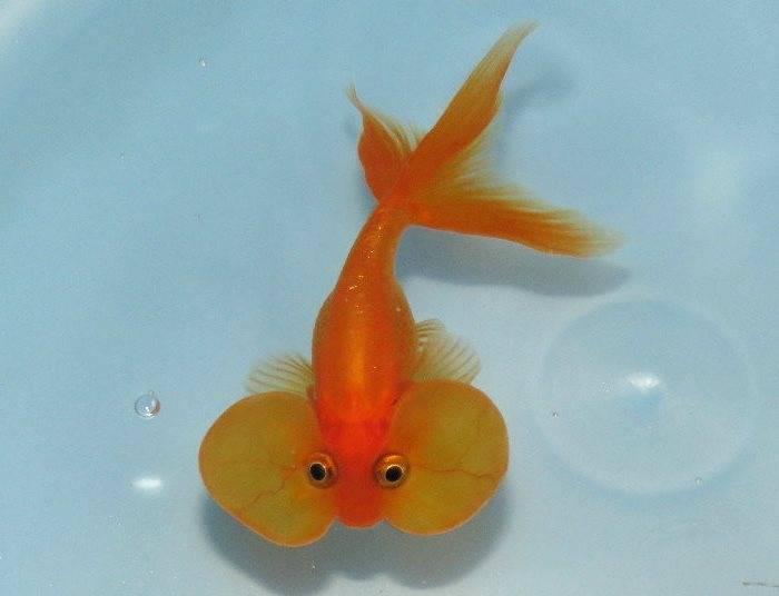 Золотая рыбка пузыреглаз оранжевая фото