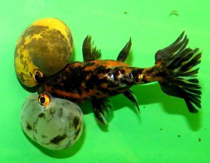 Золотая рыбка пузыреглаз фото