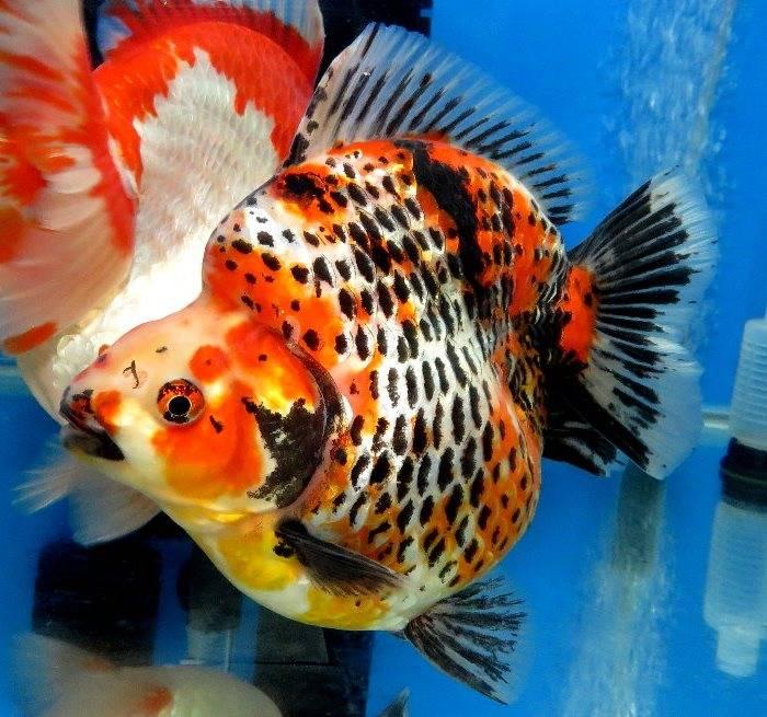 Золотая рыбка риукин пятнистой окраски фото