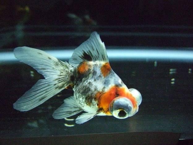 Золотая рыбка телескоп (анг. Telescope eye goldfish)