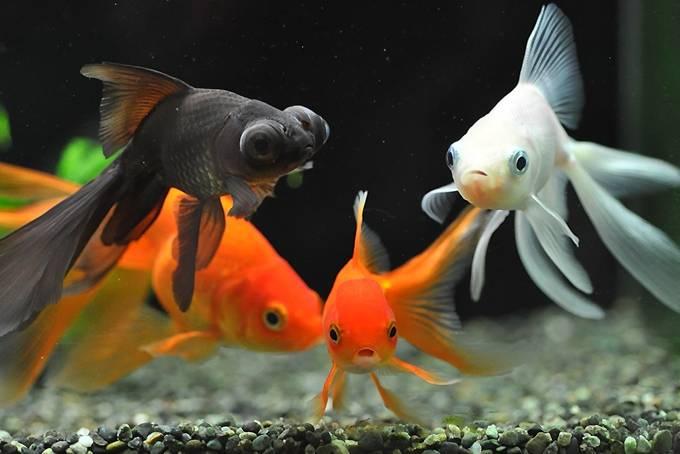 Золотые рыбки, уход и содержание в аквариуме фото