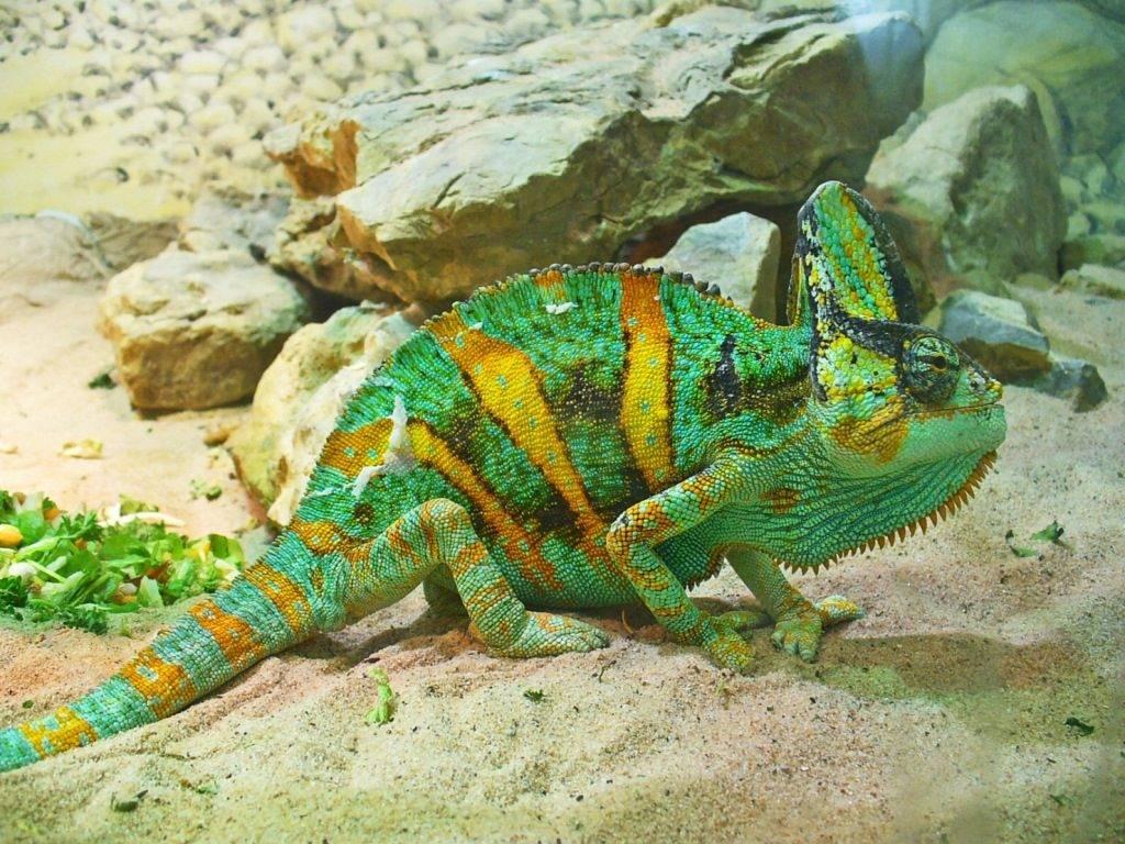 Йеменский хамелеон фото (лат. Chamaeleo calyptratus)