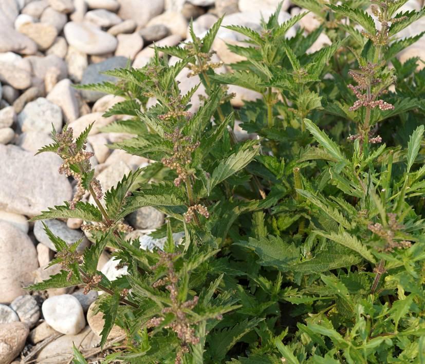 Крапива пикульниколистная (лат. Urtica galeopsifolia)