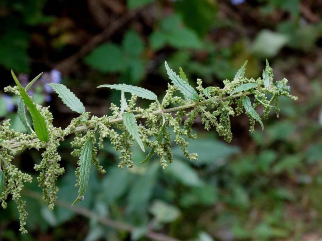 Крапива узколистная фото (лат. Urtica angustifolia)
