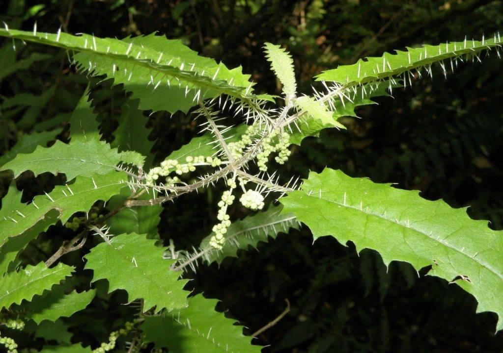 Крапивное дерево или онгаонга (лат. Urtica ferox)