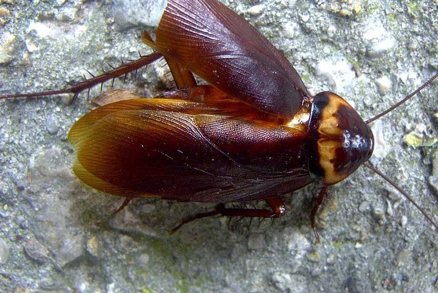 Крылья американского таракана
