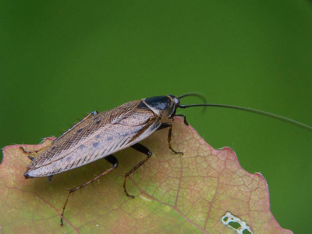 Лапландский таракан (лат. Ectobius lapponicus)