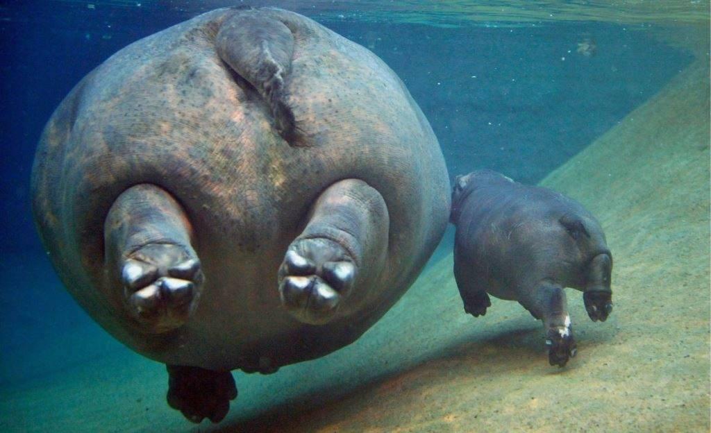 Лапы плывущего бегемота