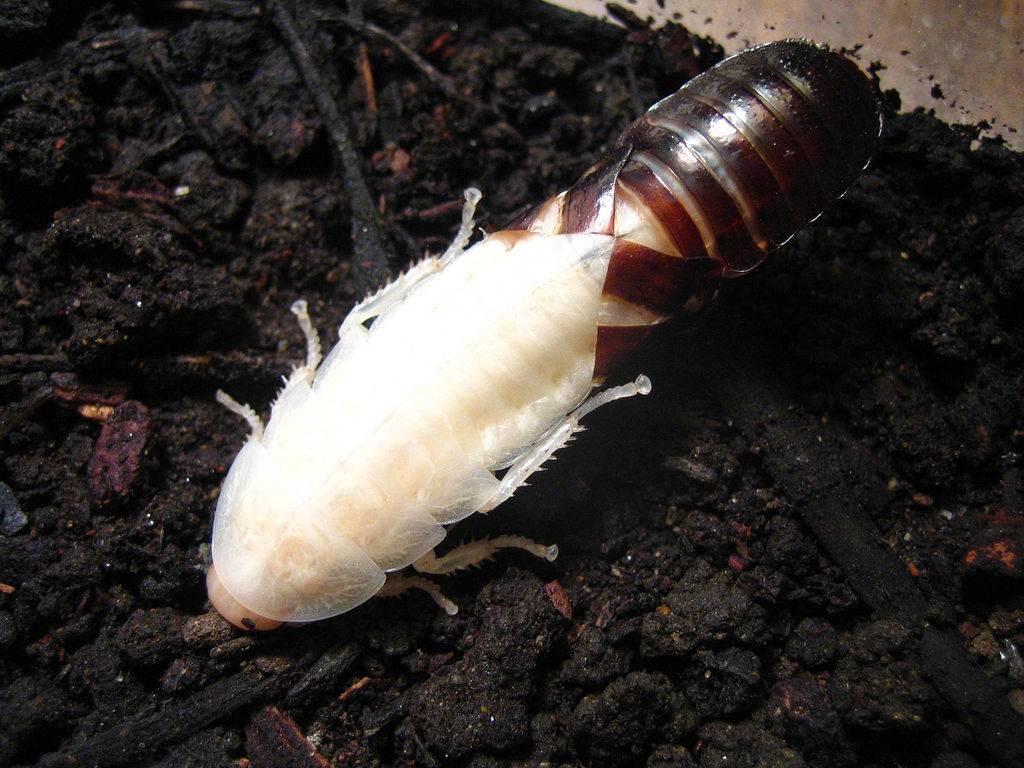Мадагаскарский таракан линяет фото