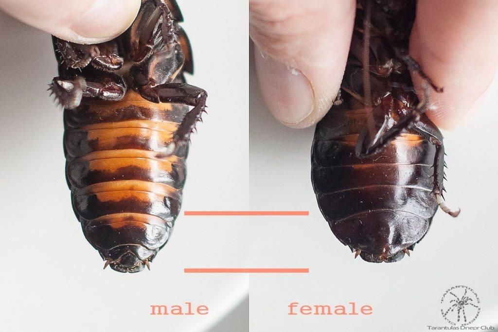 Мадагаскарский шипящий таракан (Gromphadorhina portentosa) – самец слева, самка справа