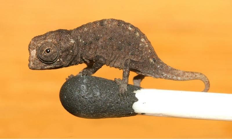 Маленький хамелеон Brookesia micra фото