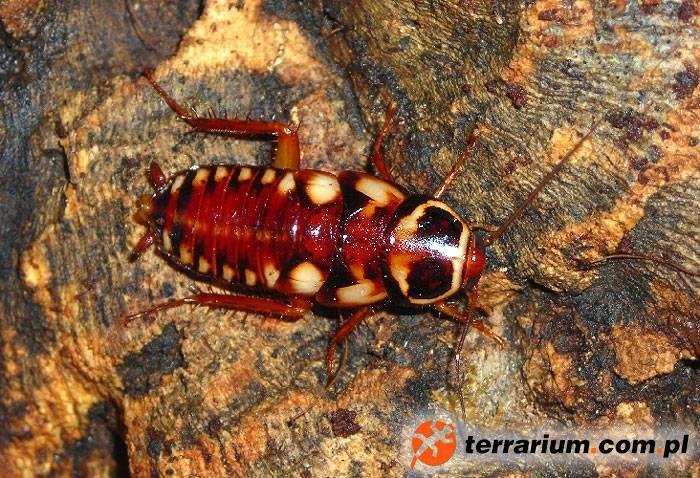 Нимфа (личинка) австралийского таракана (лат. Periplaneta australasiae)