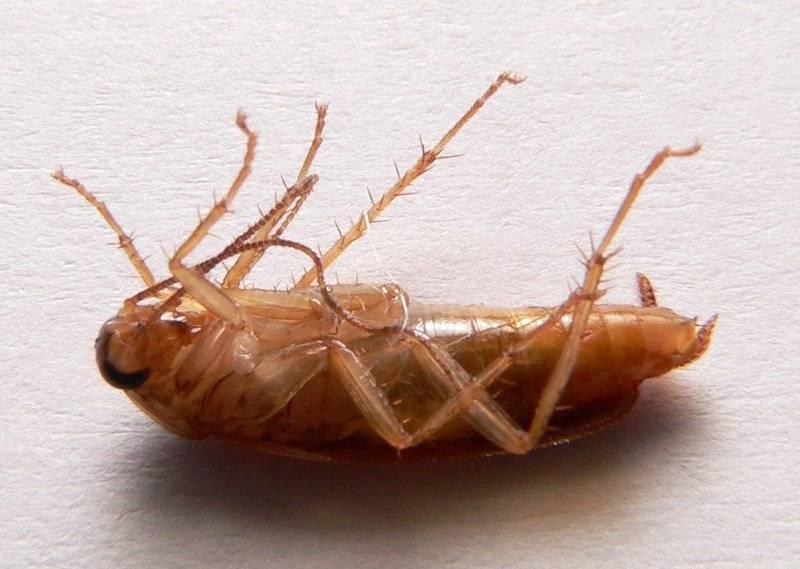 Ноги таракана фото (вид – рыжий таракан)