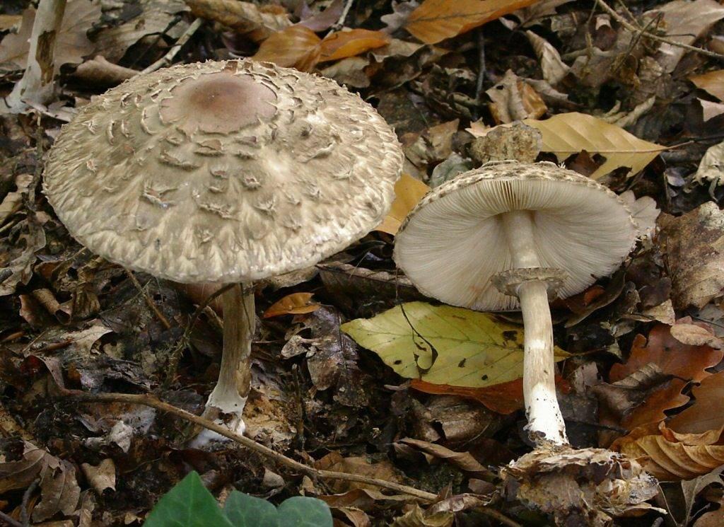 Ножка гриба-зонтика фото (вид – гриб-зонтик краснеющий)