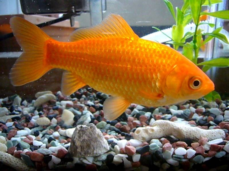 Обыкновенная золотая рыбка фото (лат. Carassius auratus auratus)