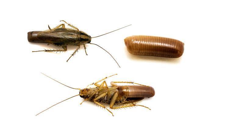 Оотека рыжего таракана фото